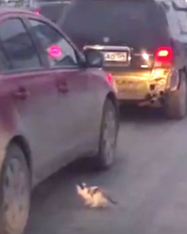 Kitten Barely Survives Rush Hour Traffic (Video) Promo Image