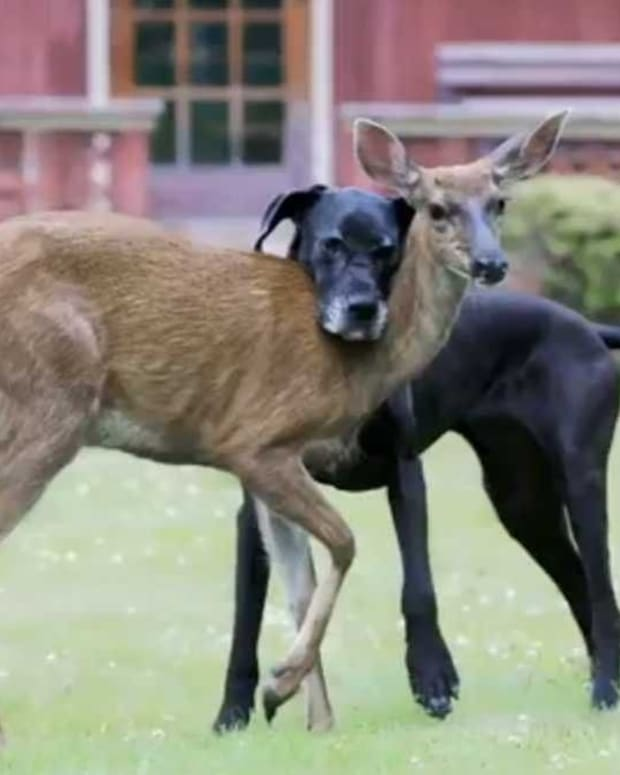 Fawn And Dog Become Best Friends (Video) Promo Image