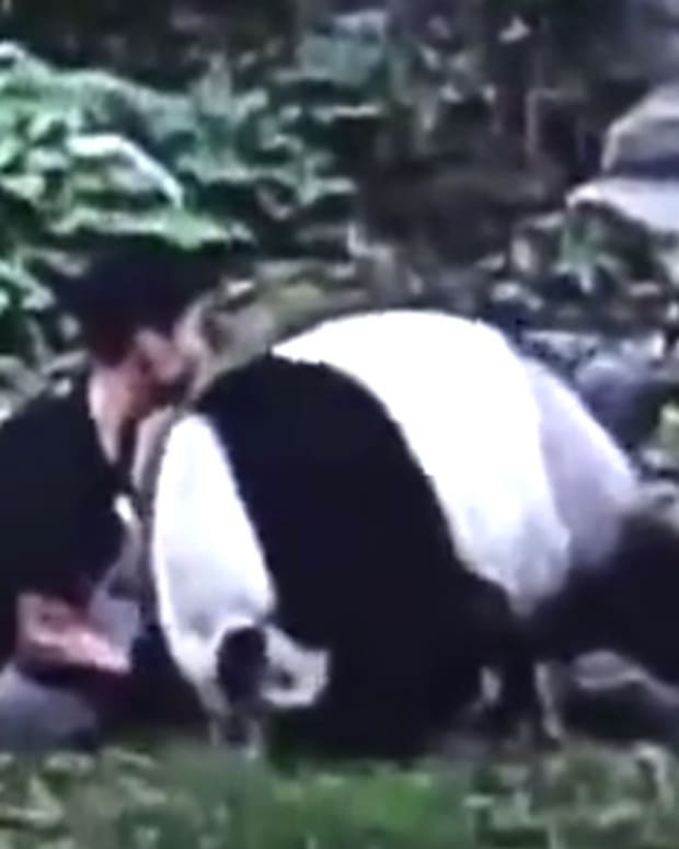 Man Picks Fight With Panda, Gets Taken Down (Video) Promo Image