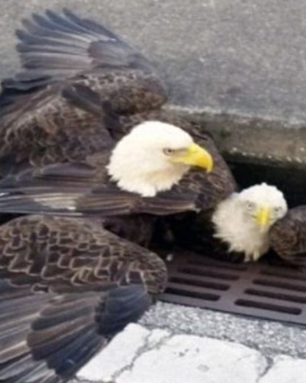Bald Eagles Rescued From Drainage Ditch (Photos) Promo Image