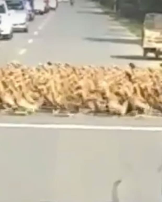 Thousands Of Ducks Cross Road, Motorists Wait (Video) Promo Image