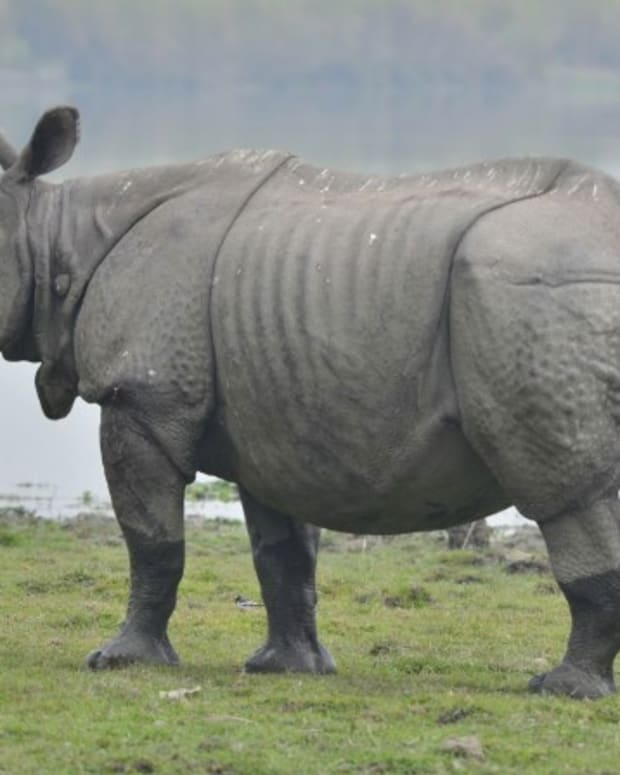 Rhino Charges Conservationists After Release Into Wild (Video) Promo Image
