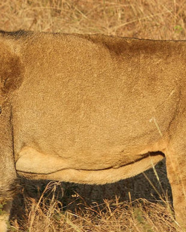 Lion-Dog Shocking Oregon Residents (Photos) Promo Image