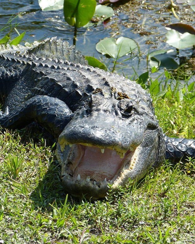 Alligators Documented Eating Sharks And Stingrays Promo Image
