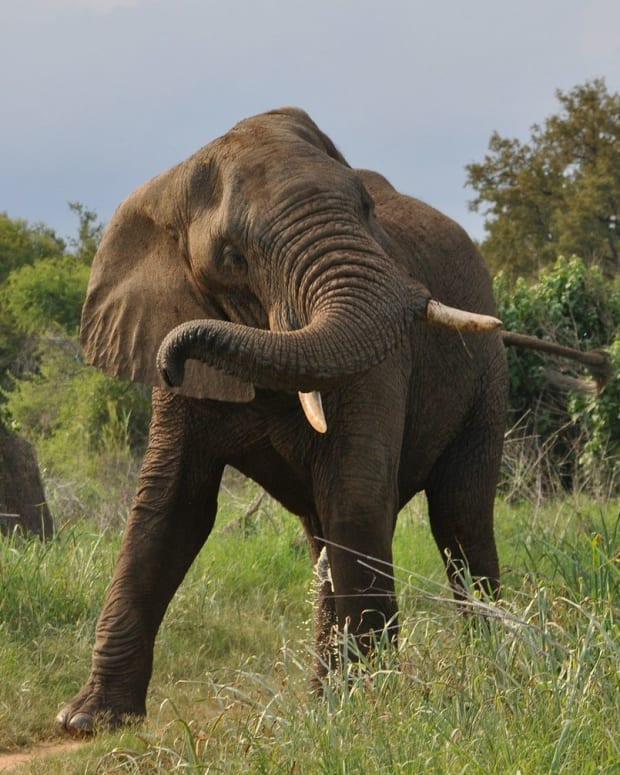 African Elephant Tramples Hunter On World Elephant Day Promo Image