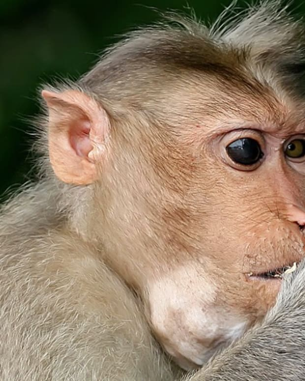 Monkeys Steal Objects From Tourists For Ransom (Video) Promo Image