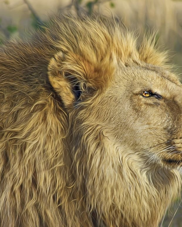 Son Of Cecil The Lion Shot By Hunter In Zimbabwe Promo Image