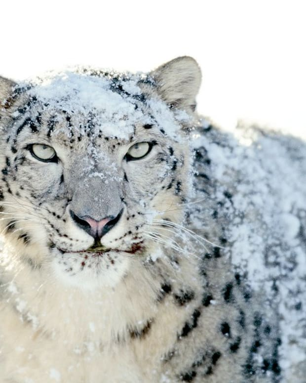 Hunter Faces Backlash For Killing Rare Snow Leopard Promo Image