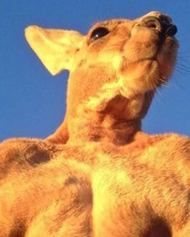 Roger the musclebound kangaroo