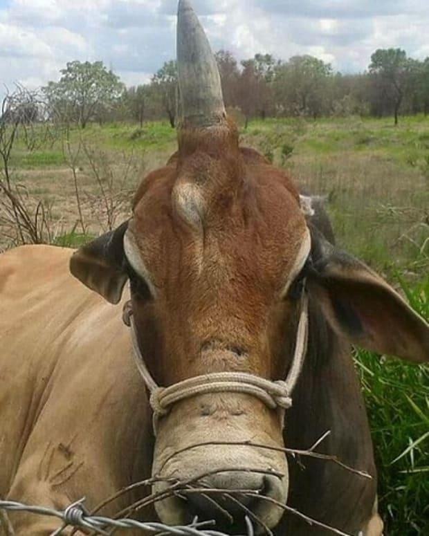 Diamond, the Brazilian bull with one horn