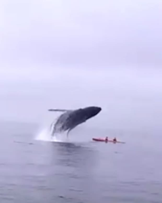 Humpback Whale And Kayakers.