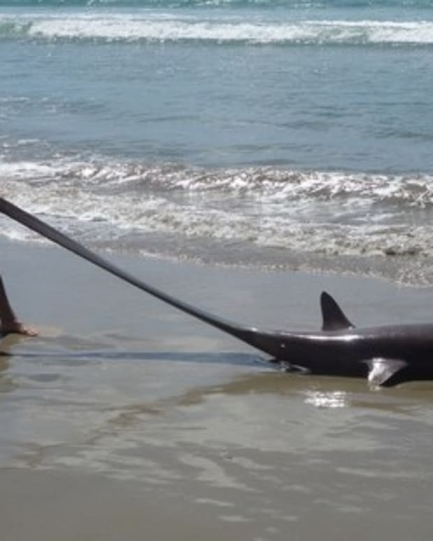 New Zealand Tourist Finds Unusual Shark On Beach Promo Image
