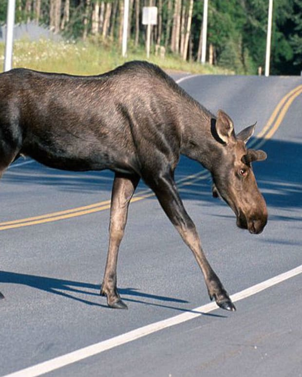 Moose Gives Birth In Lowe's Parking Lot (Video) Promo Image