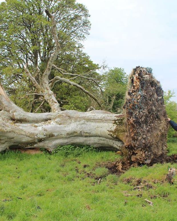 fallen tree in Ireland