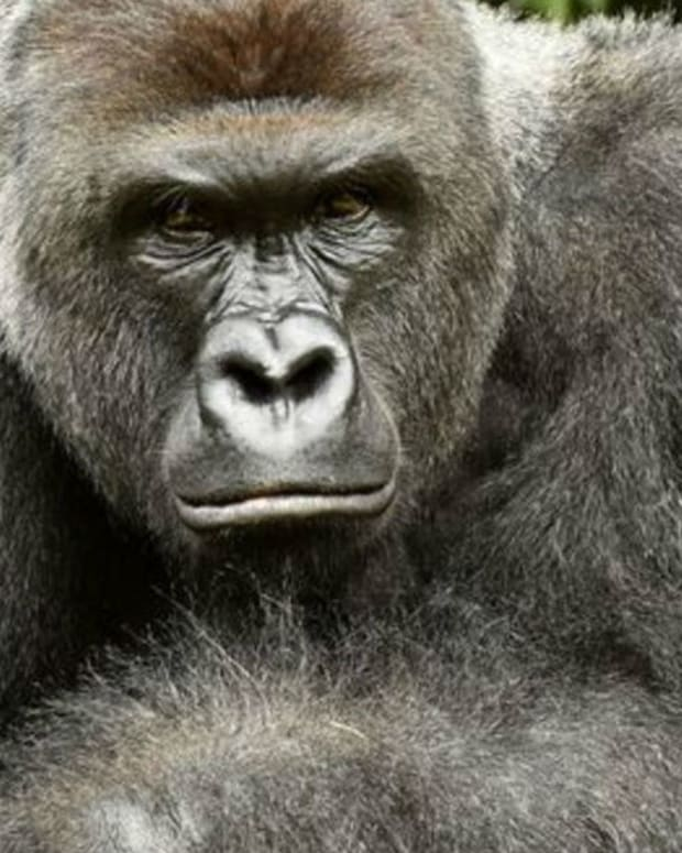 Wrong Woman Attacked Over Gorilla's Death Promo Image