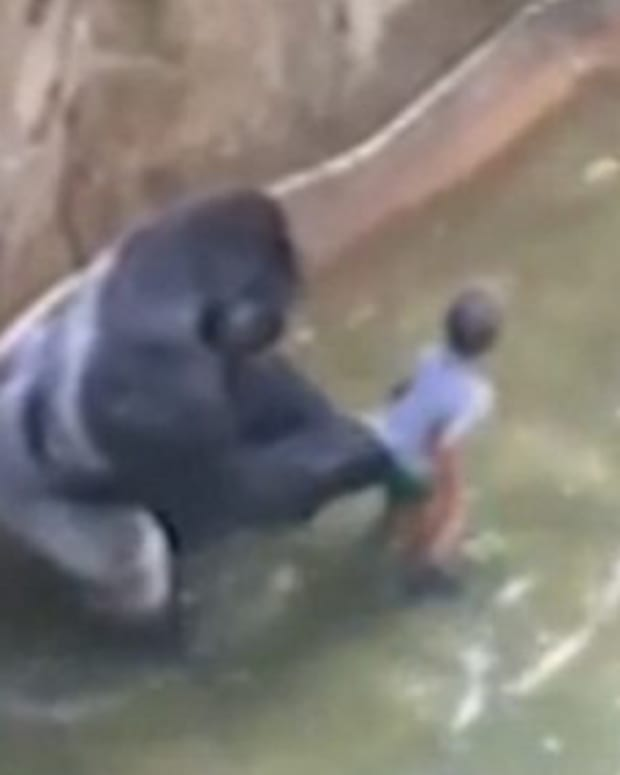 Gorilla Shot Dead After Toddler Falls Into Pit At Zoo  Promo Image