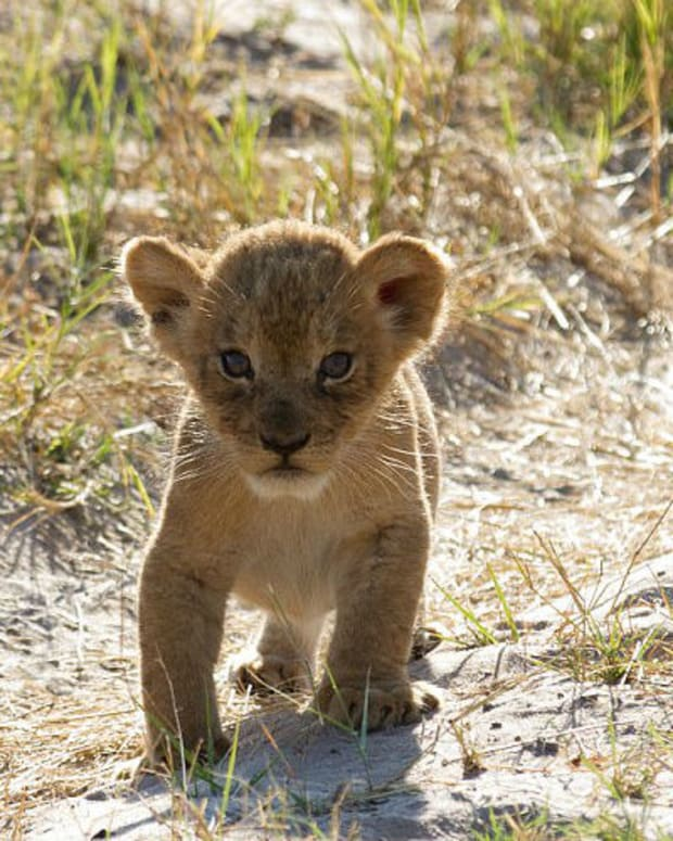 Cecil The Lion's Son Has Babies Promo Image