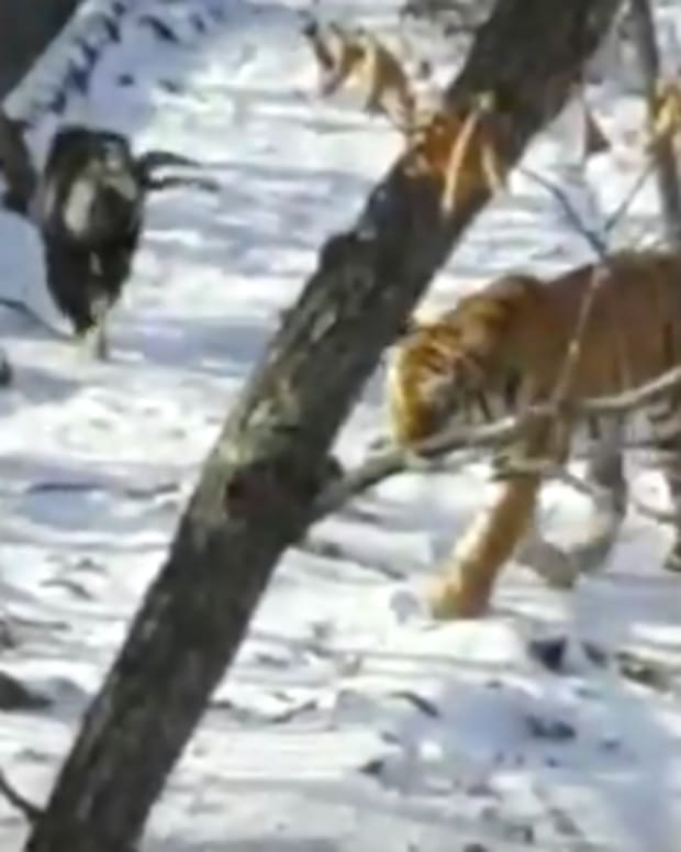 Tiger Goat Russia