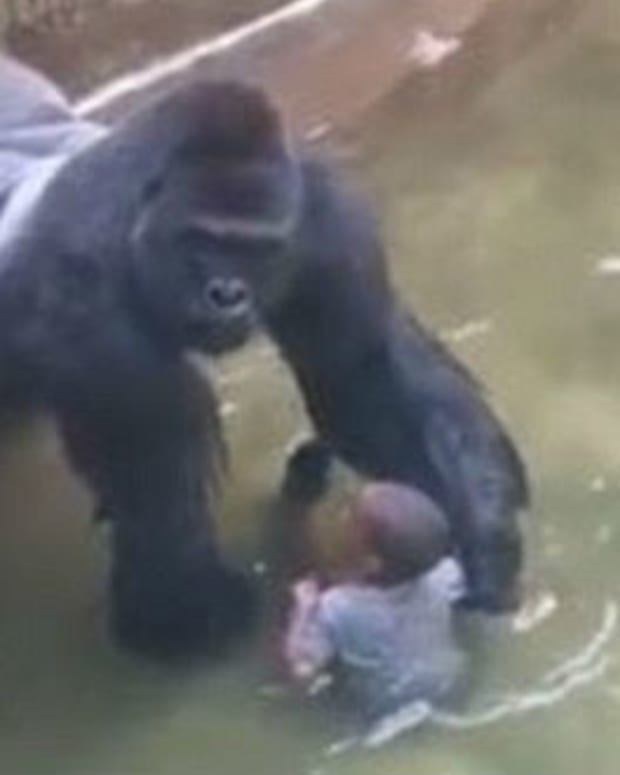 Zoo Director Defends Decision To Kill Harambe  Promo Image
