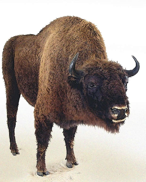 U.S. Soon To Declare New National Mammal Promo Image