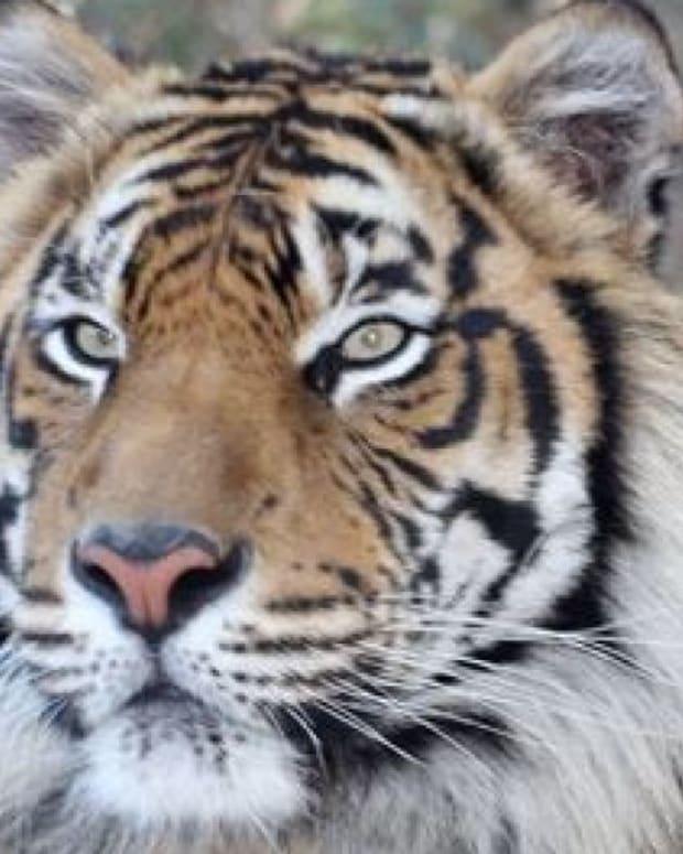 Ranu, A Sumatran Tiger.