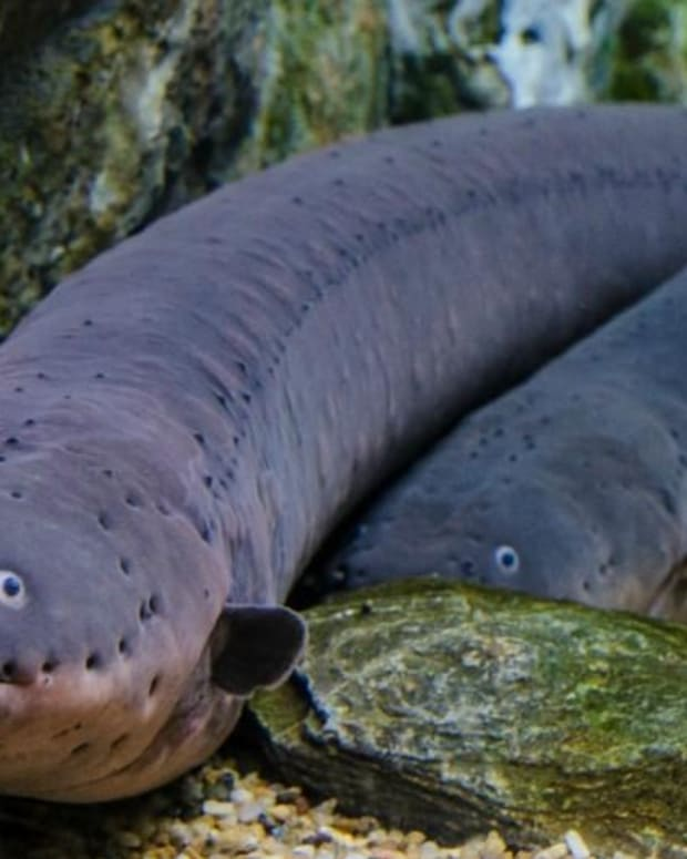 Electric Eels Leap To Deliver Shocks (Video) Promo Image