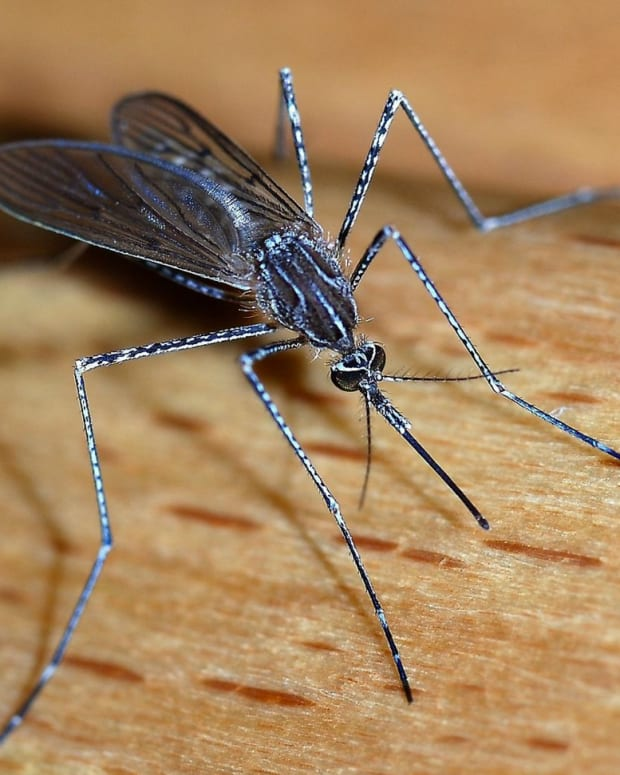 Mosquitos are known to contract and spread Zika virus