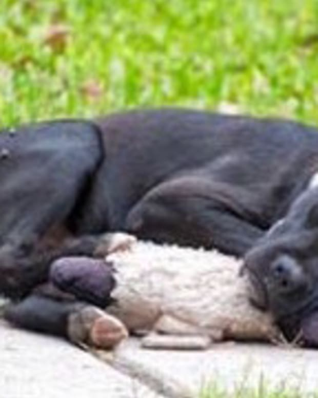 Stray Dog Sleeps With Stuffed Animal On Sidewalk (Photo) Promo Image
