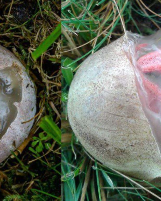 A Bizarre Type Of Mushroom Found In A Grassy Area.