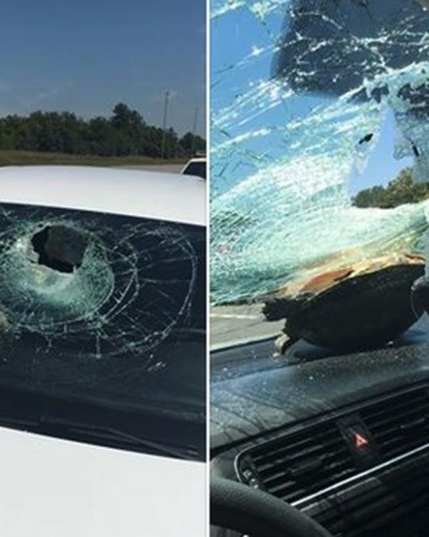 Turtle Crashes Into Woman's Windshield And Survives Promo Image