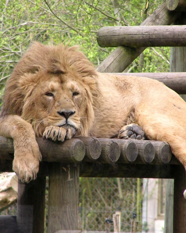 Man-Eating Lions Sentenced To Life In Captivity Promo Image