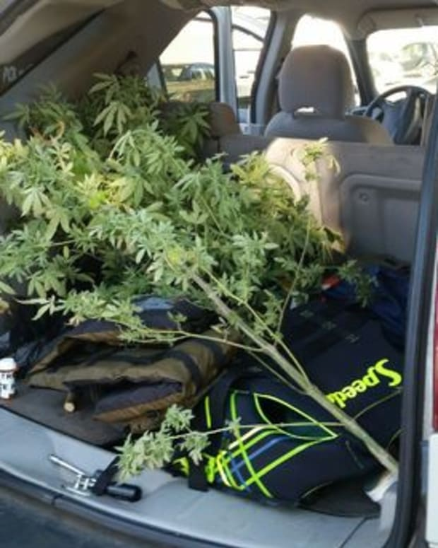 6-foot marijuana plant in back of car