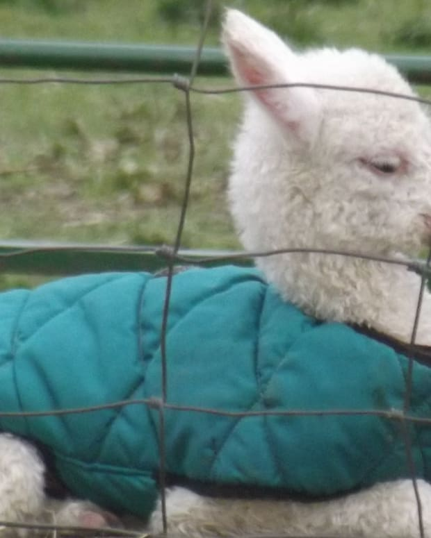 Farmer Saves Baby Alpaca Who Fell Down Hole (Video) Promo Image