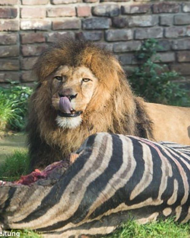 Lions Eat Zebra.