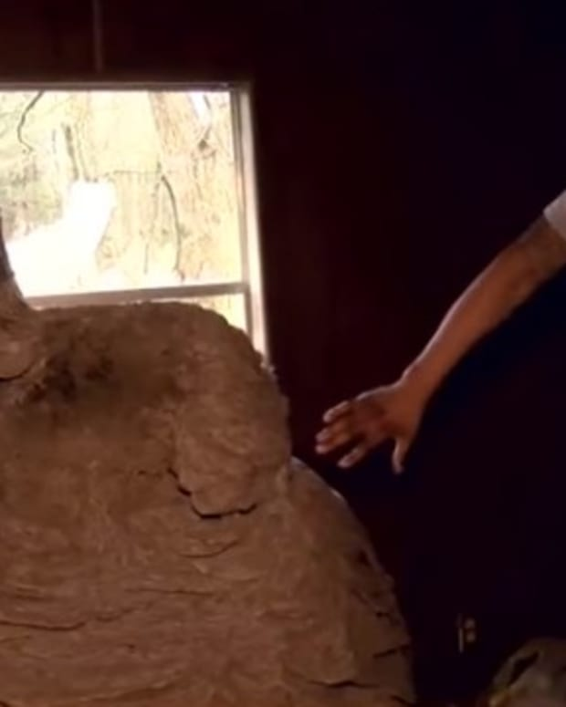 'It Looked Unreal': Man Discovers Giant Hornet's Nest (Video) Promo Image