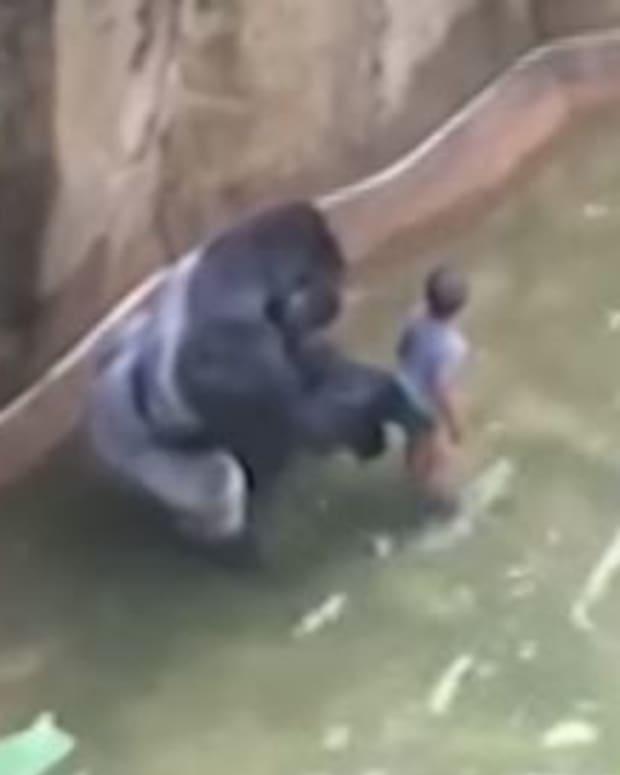 Harambe The Gorilla: His Genes Will Live On (Video) Promo Image