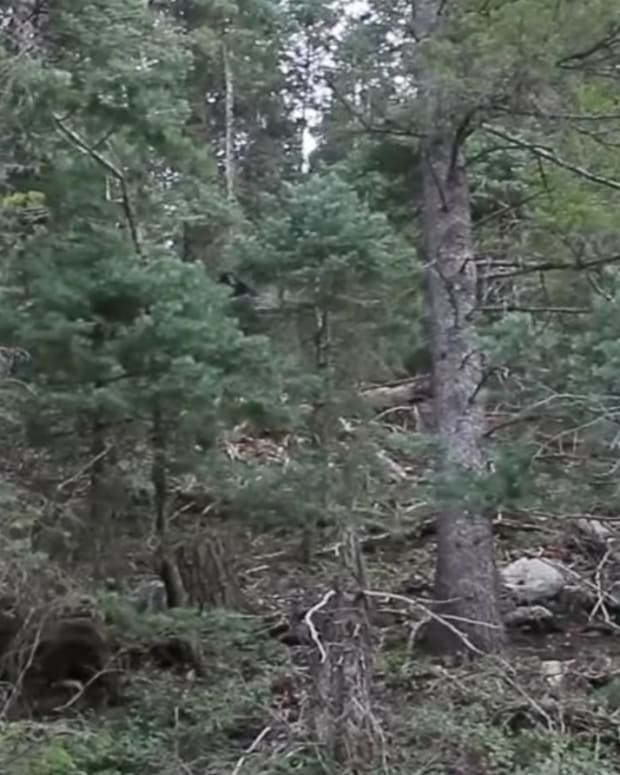 Alleged Bigfoot footage