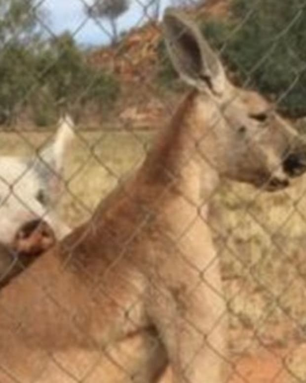 Pig And Kangaroo Have Unusual Relationship (Photos) Promo Image