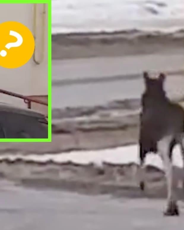 Moose-Cat