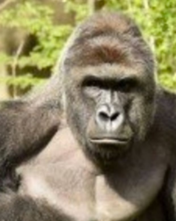 No Charges For Mom Of Boy Who Climbed Into Gorilla Pit Promo Image