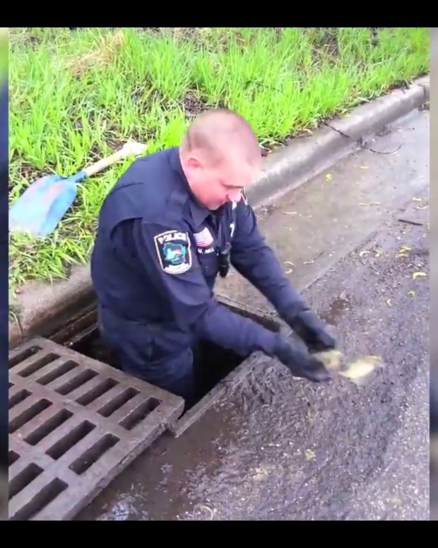 Officer Rescues Ducklings From Sewer Drain (Video) Promo Image