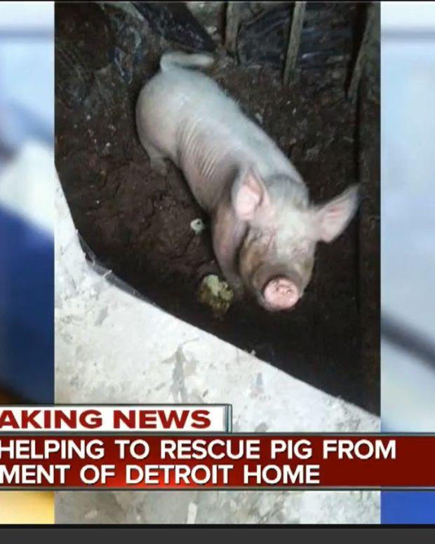 PigSS.jpg