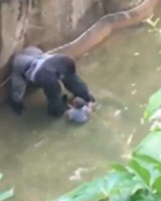 Debate Mounts Over Zoo's Decision To Shoot Gorilla Promo Image