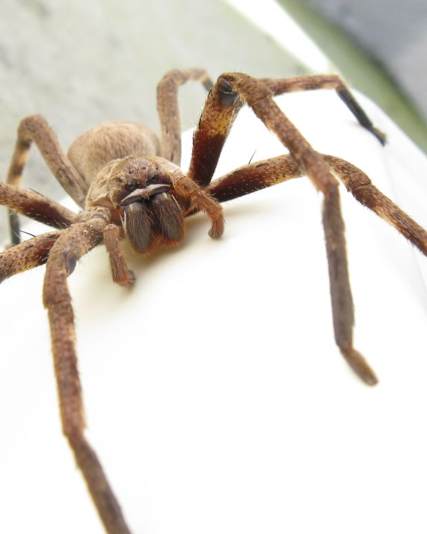 Huntsman Spider in door frame