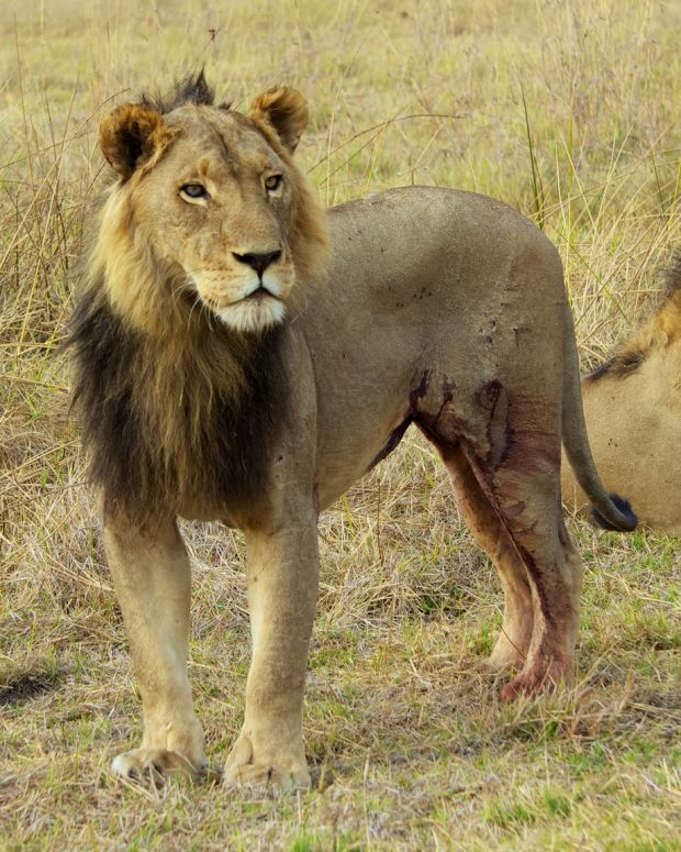 Man Tries To Kill Himself By Jumping Into Lion Pit Promo Image