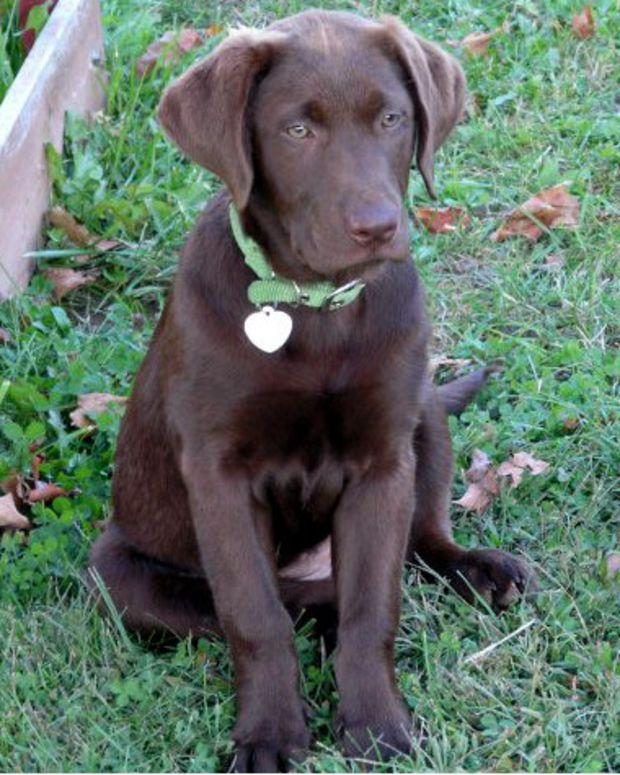 chocolate Labrador retriever sitting on grass