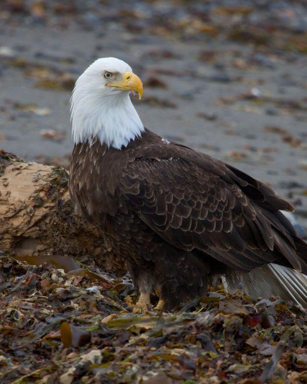 Bald Eagle Found Shot To Death (Photo) Promo Image