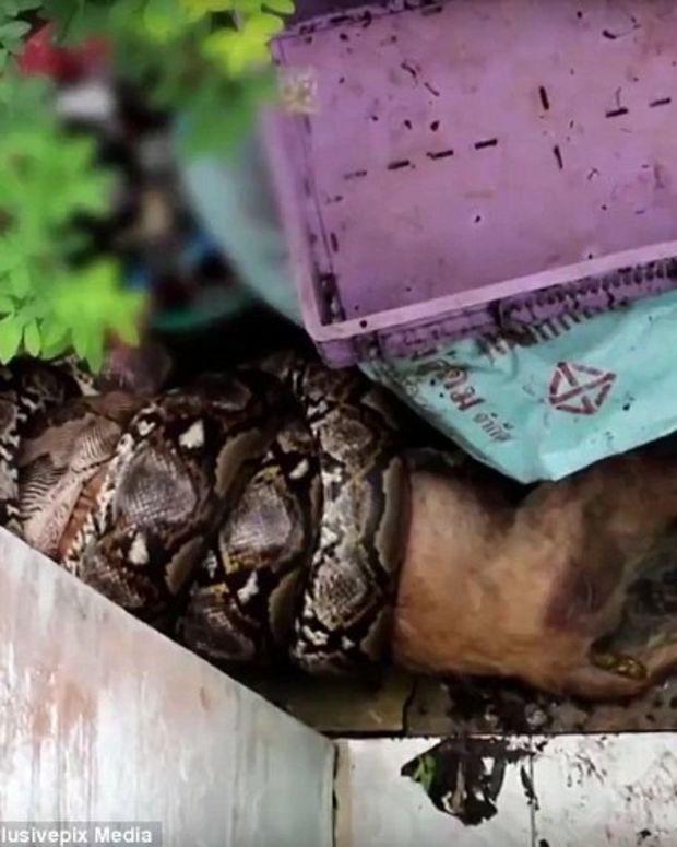 Video Shows Python Eating Dog (Video) Promo Image