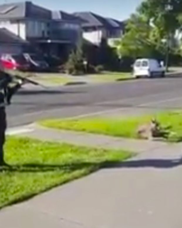 Cop Shoots Injured Kangaroo In Front Of Child (Video) Promo Image