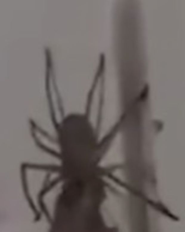 Footage Of Giant Spider Feasting Freaks Out Viewers (Video) Promo Image